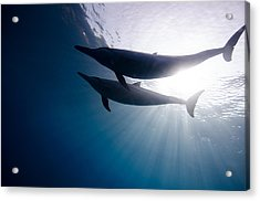 Dolphin Silhouette 01 Acrylic Print by One ocean One breath