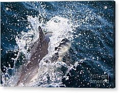 Acrylic Print featuring the photograph Dolphin Splash by John Wadleigh