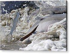 Dolphin Strand Feeding 2 Acrylic Print
