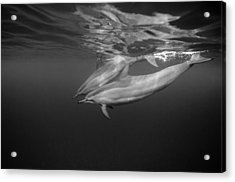 Dolphins 01 Acrylic Print by One ocean One breath