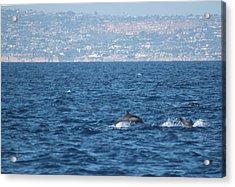 Dolphins Off The San Diego Coast Acrylic Print by Valerie Broesch
