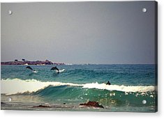 Dolphins Swimming With The Surfers At Asilomar State Beach  Acrylic Print