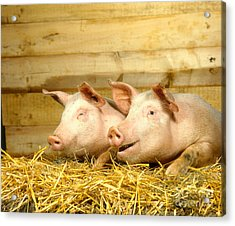 Domestic Pigs Acrylic Print by Hans Reinhard