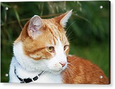 Domestic Shorthair Cat Marmalade Acrylic Print by Piperanne Worcester