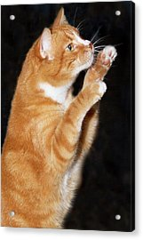 Domestic Shorthair Cat Up On Hind Legs Acrylic Print by Piperanne Worcester