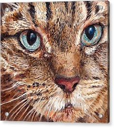 Domestic Tabby Cat Acrylic Print