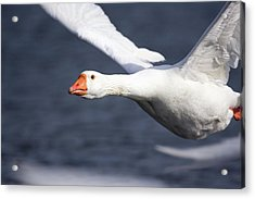 Domesticated Goose In Flight Acrylic Print by John Devries/science Photo Library