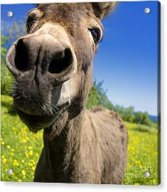 Donkey Acrylic Print by Bernard Jaubert