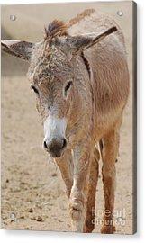 Donkey Acrylic Print by DejaVu Designs
