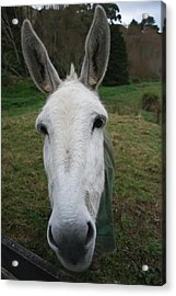 Acrylic Print featuring the photograph Donkey by Jocelyn Friis