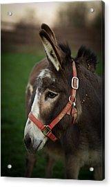 Donkey Acrylic Print by Shane Holsclaw