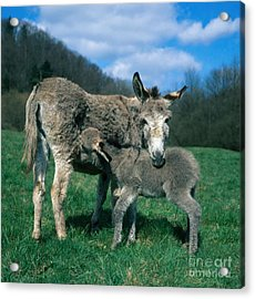 Donkey With Young Acrylic Print