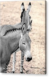 Donkeyflected Acrylic Print by Bill Tiepelman