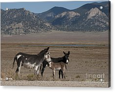 Donkeys In The Colorado Rockies Acrylic Print