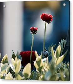 Acrylic Print featuring the photograph Don't Be Ranunculus by Penni D'Aulerio