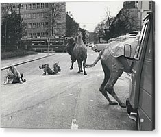 Don�t Move To New Address By Camels! Acrylic Print by Retro Images Archive