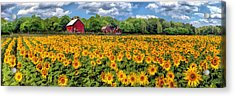 Door County Field Of Sunflowers Panorama Acrylic Print by Christopher Arndt