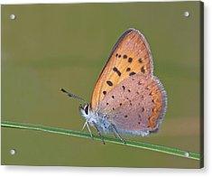 Dorcas Copper Acrylic Print