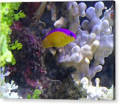 Dottyback After Dinner Acrylic Print