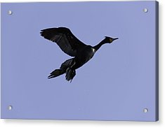 Double-crested Cormorant Coming In. Acrylic Print