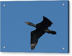 Double-crested Cormorant In Flight Acrylic Print