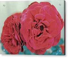 Double Desert  Red Roses Acrylic Print by Dusty Rose