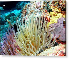 Acrylic Print featuring the photograph Double Giant Anemone And Arrow Crab by Amy McDaniel