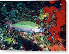 Double-lined Fusilier With Cleaner Wrasse Acrylic Print by Georgette Douwma/science Photo Library