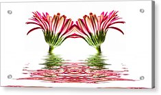 Double Pink Gerbera Flood Acrylic Print by Steve Purnell
