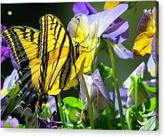 Double-tailed Swallowtail Buftterfly Acrylic Print