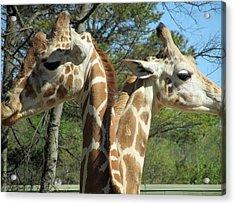 Giraffes With A Twist Acrylic Print