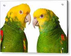 Double Yellow-headed Amazon Pair Portrait Acrylic Print