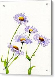 Douglas Aster Wild Flower Acrylic Print by Sharon Freeman