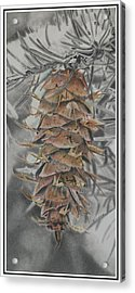 Douglas Fir Pine Cone Acrylic Print