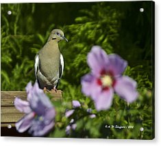 Dove And Althea Blossoms Acrylic Print