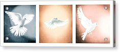 Dove In Flight Triptych Acrylic Print