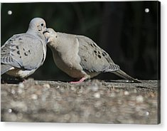 Dove Love Acrylic Print