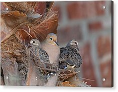 Acrylic Print featuring the photograph Dove Nest 4 by Gregory Daley  PPSA