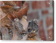 Dove Nest 4 Acrylic Print by Gregory Daley  PPSA