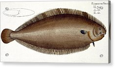 Dover Sole Acrylic Print by Andreas Ludwig Kruger