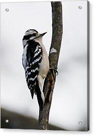 Downt Woodpecker Acrylic Print