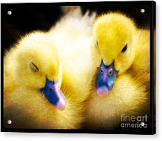 Downy Ducklings Acrylic Print by Edward Fielding