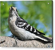 Downy Woodpecker 302 Acrylic Print