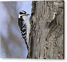 Downy Woodpecker Acrylic Print by Tony Beck
