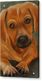 Doxie Acrylic Print by Jean Cormier