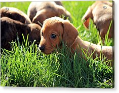 Doxies Acrylic Print by Velvetdawn Custer