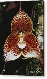 Dracula Orchid Acrylic Print by Gregory G. Dimijian, M.D.