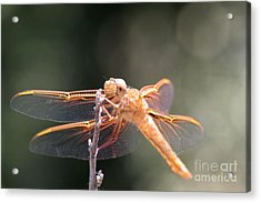 Dragon Fly Acrylic Print by Laura Paine