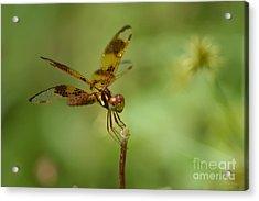 Acrylic Print featuring the photograph Dragonfly 2 by Olga Hamilton