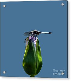 Dragonfly Appreciates A Flower Acrylic Print by Byron Varvarigos